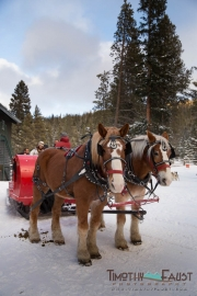Wedding horse drawn sleigh