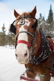 Wedding horse drawn sleigh