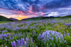 Wildflowers Crested Butte Colorado