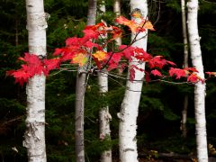 Maple Leaves in Maine