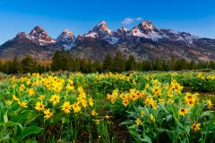 Wildflowers and Grand Tetons