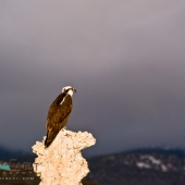 Wild Osprey in the Eastern Sierra Nevada