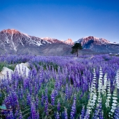 Sierra Lupine at Sunrise